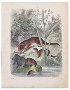 Eurasian Otters - Original Lithograph - 1860
