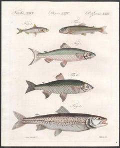 Fish, engraving with original hand-colouring, circa 1815