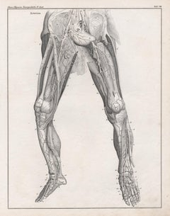 German anatomical medical antique lithograph - Veins in the Legs