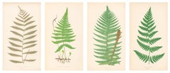 Grouping of Four Ferns