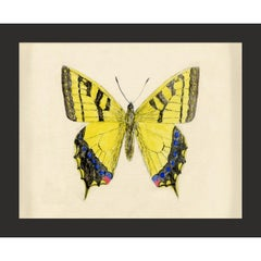 Hubbard Butterfly No. 1010, giclee print, framed