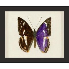 Hubbard Butterfly No. 1160, giclee print, framed