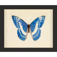 Hubbard Butterfly No. 135, giclee print, framed