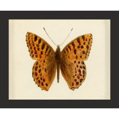 Hubbard Butterfly No. 52, giclee print, framed