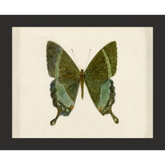 Hubbard Butterfly No. 522, giclee print, framed
