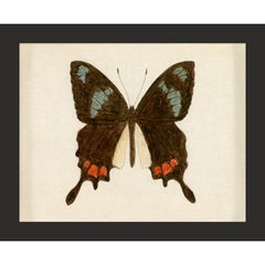 Hubbard Butterfly No. 559, giclee print, framed