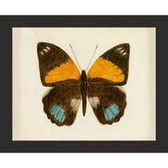 Hubbard Butterfly No. 725, giclee print, framed