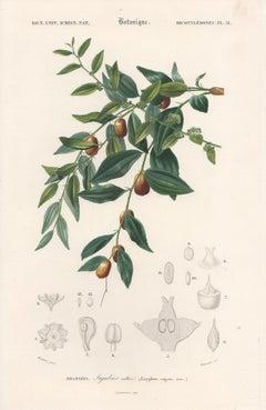 Jujubier cultive (Zizyphus vulgaris), French botanical engraving, 1849