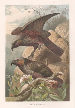 Kaka Parrots, Antique New Zealand Bird Parrot Chromolithograph, circa 1895