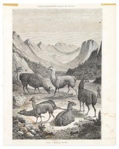 Llams - Original Lithograph - Late 19th Century
