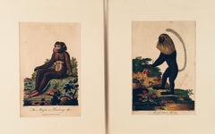 "Pair of 18th Century Engravings, ""Barbary Ape"" and ""Full Bottom Monkey"""