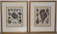 "Pair of Early 19th Century ""Conchology"" Conch Shells Color Etchings c.1802"