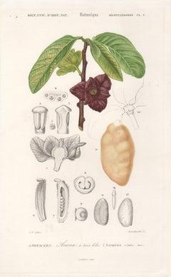 Paw Paw, French botanical engraving, 1849