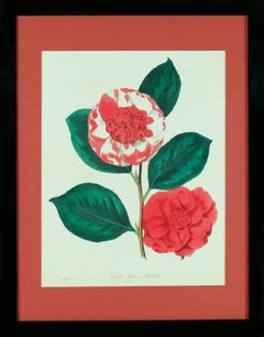 Paxton's Camellia Japonica