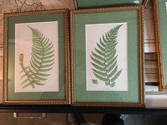 Polystichum Angulare and Angular Leaved Prickly Fern
