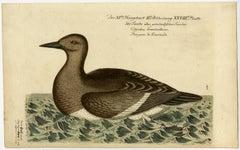 See Taube oder Gronlandische Taucher - A grylle from Greenland.
