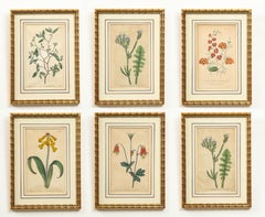 Set of Six Botanical Hand-Colored Engravings from Curtis's Botanical Magazine