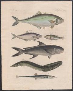 Six Fish engravings with original hand-colouring, circa 1815