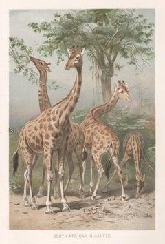 South African Giraffes, Antique Natural History Chromolithograph, circa 1895