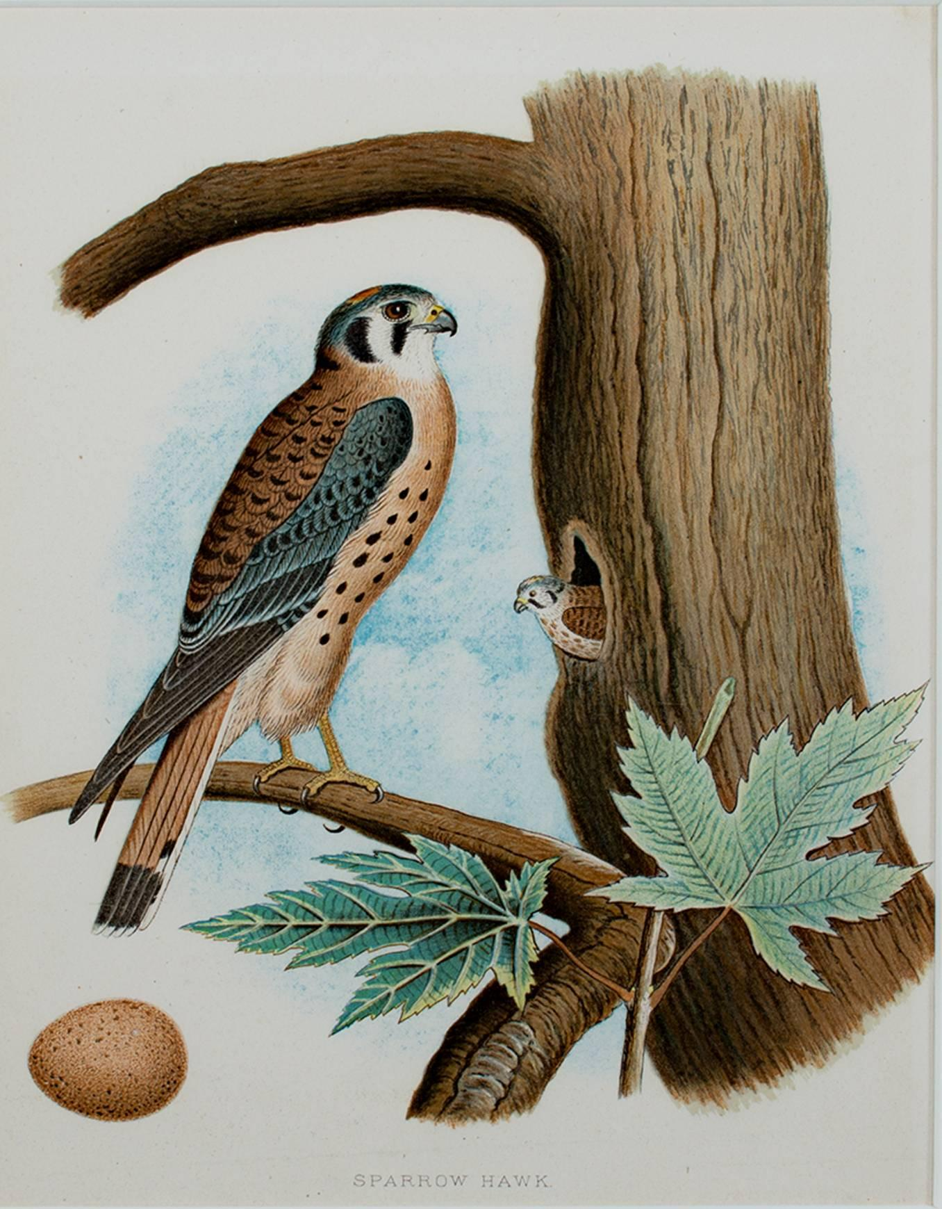"""""""Sparrow Hawk,"""" Original Color Lithograph by an American artist"""