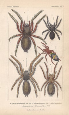 Spiders, antique English natural history engraving prints, 1837