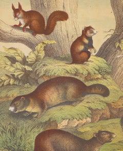 Squirrels - Original Lithograph - Late 19th Century