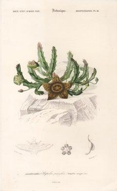 Stapelia variegata, French botanical engraving, 1849