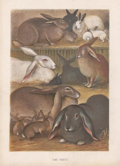 Tame Rabbits, Antique Natural History Chromolithograph, circa 1880