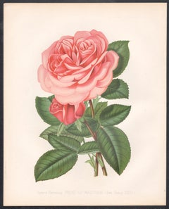 A pair of Victorian English Pink Rose botanical flower chromolithographs, c1880