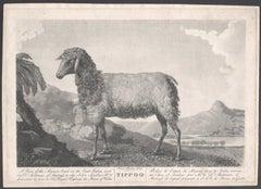 Tippoo, antique India sheep aquatint engraving, circa 1780