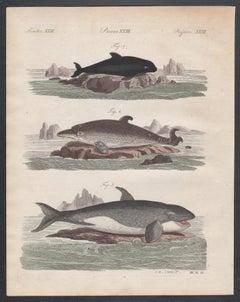 Whales, engraving with original hand-colouring, circa 1815
