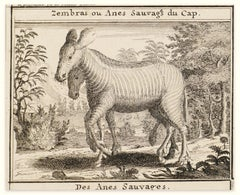 Zebras - Original Etching - 18th Century