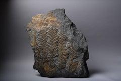 Huge Fossilised Fern Plant