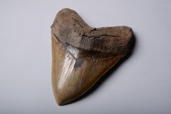 Huge Megalodon Shark Tooth Fossil