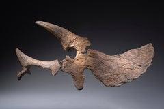 Huge Sculptural Triceratops Skull Fossil