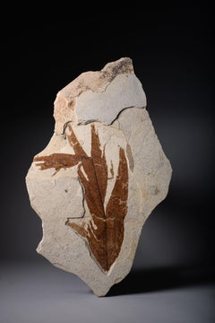 Large Leaf Fossil Wall Piece from the Green River Formation