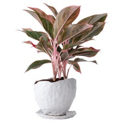 Untitled Handmade Glazed Stoneware Planter Unique Edition with Chinese Evergreen
