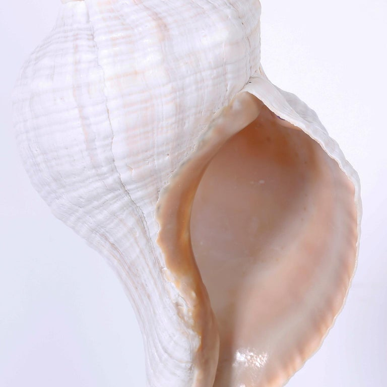 Various Seashells Mounted on Lucite, Priced Individually For Sale 2