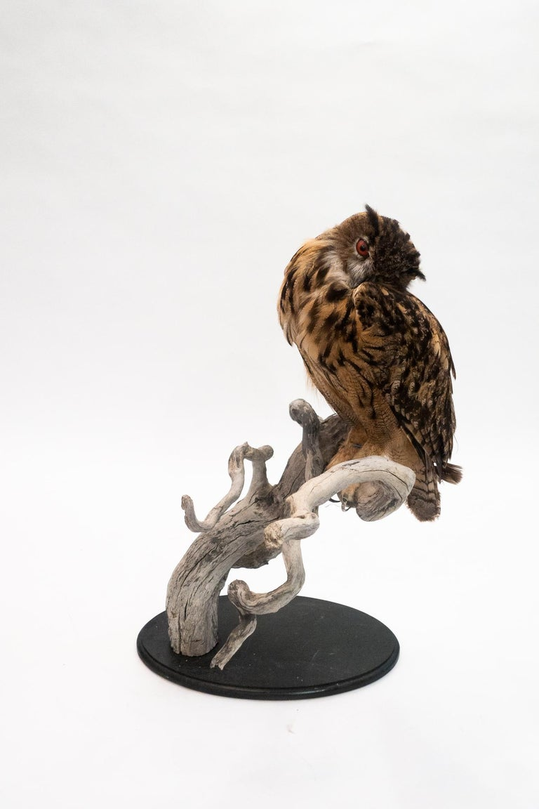 Eurasian eagle-owls are one of the largest species of owls that exist. They are found mostly in Eurasia and throughout Europe. This example is very large and is mounted with the owl in a naturalistic pose.