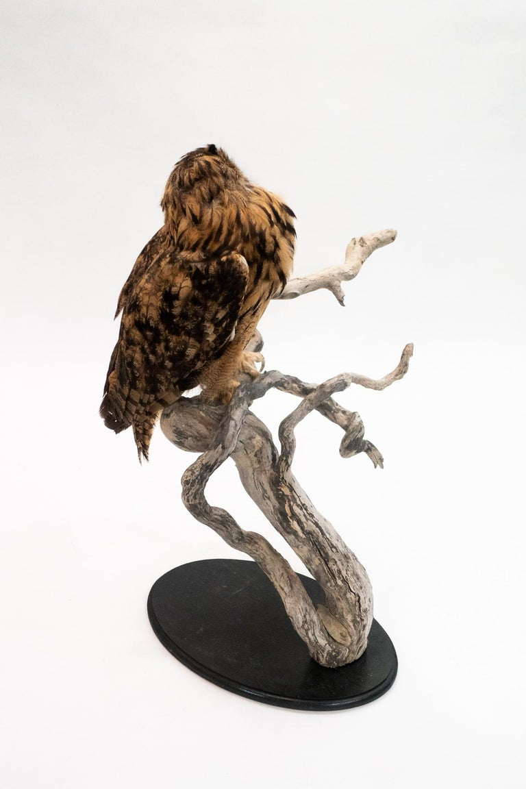 Victorian Very Large Taxidermy Eurasian Eagle-Owl Mounted on a Black Base and Drift Wood For Sale