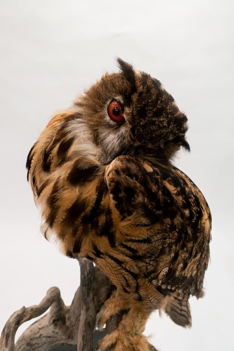 American Very Large Taxidermy Eurasian Eagle-Owl Mounted on a Black Base and Drift Wood For Sale