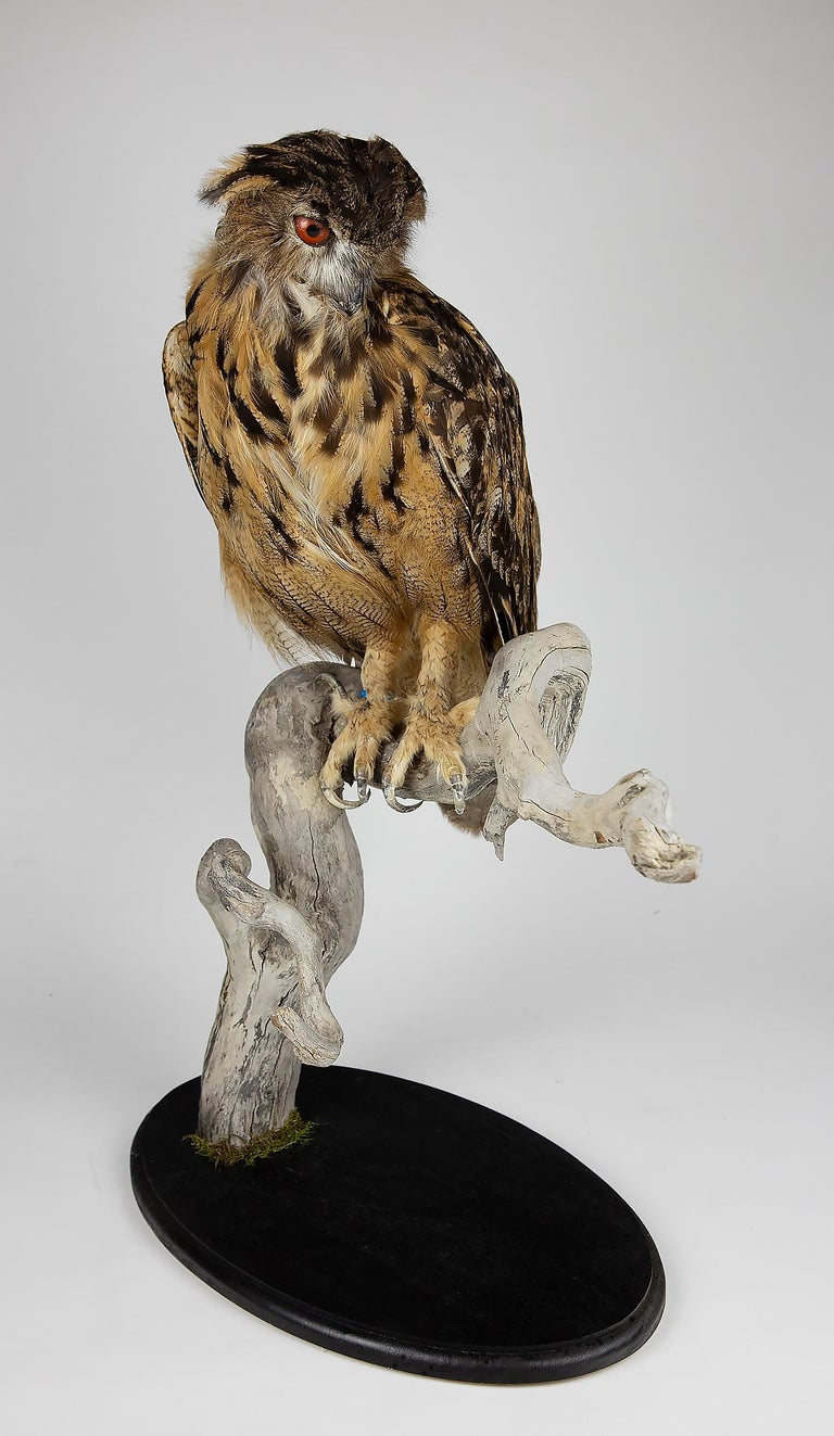 Very Large Taxidermy Eurasian Eagle-Owl Mounted on a Black Base and Drift Wood In Good Condition For Sale In New York, NY