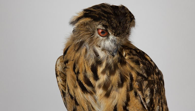 Very Large Taxidermy Eurasian Eagle-Owl Mounted on a Black Base and Drift Wood For Sale 2