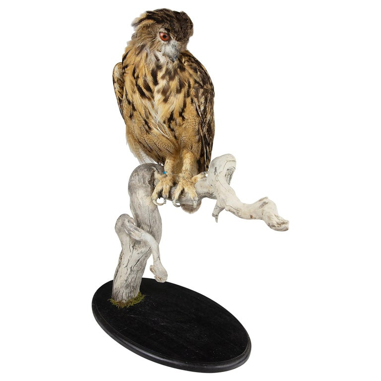 Very Large Taxidermy Eurasian Eagle-Owl Mounted on a Black Base and Drift Wood For Sale