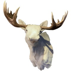 Very Rare Taxidermy Shoulder Mount of a White Scandinavian Moose