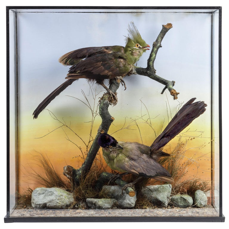 Victorian Display Box with Taxidermy Turako's, Rowland Ward, Late 19th Century For Sale