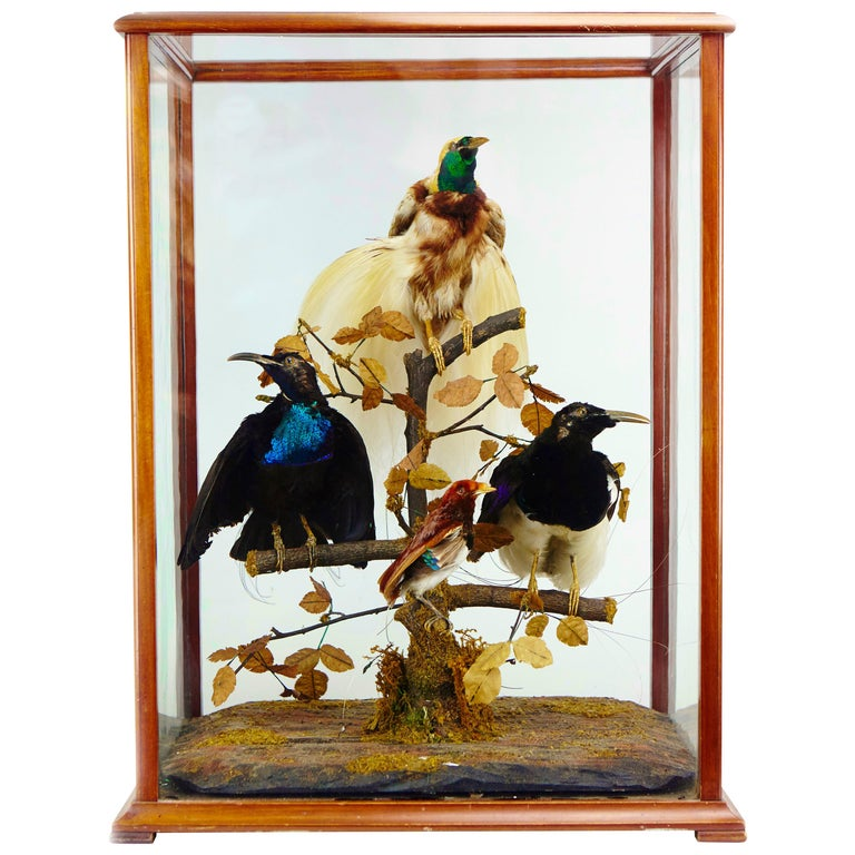 Victorian Display with Taxidermy Birds of Paradise by Jane C. Ward For Sale