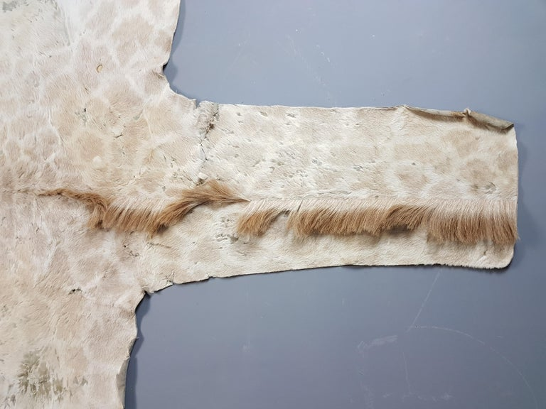 Victorian Juvenile Giraffe Hide For Sale 1