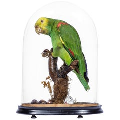 Victorian taxidermy Amazon Parrot under Dome