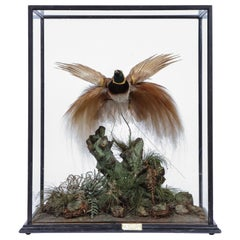 Victorian Taxidermy Bird of Paradise Attributed to Rowland Ward, 1848-1916